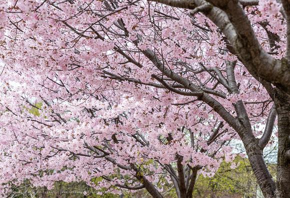 Sakura 2021-1