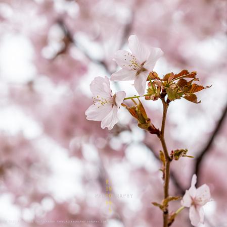 Sakura 2021-4