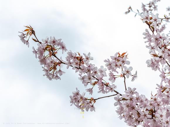 Sakura 2021-3