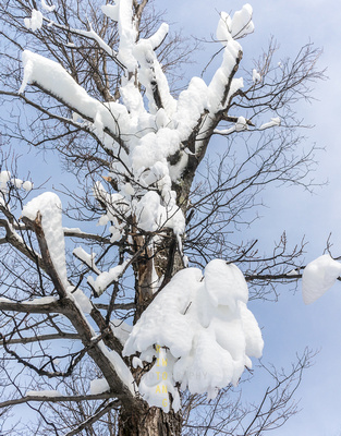 Snow-laden Tree